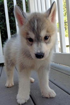 Siberian Husky- I want this one. Right now. Please.