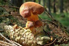 Pilze wachsen auf Fichtenzapfen