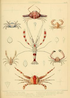 Crustacea by BioDivLibrary on Flickr.  .  The Zoology of the voyage of H.M.S. Samarang, under the command of Captain Sir Edward Belcher, C.B., F.R.A.S., F.G.S., during the years 1843-1846 /.London :Reeve and Benham,1850 [i.e. 1848-1850].  biodiversitylibrary.org/page/39771176  Via scientificillustration.