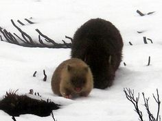 snow wombats! Australian Animals, Wombat, Extinct, Guinea Pigs, Rainbows, Animal Kingdom, Pugs, Cute Animals, Roses