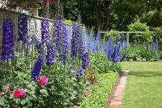 Glorious mixed border of Dowdeswelle Delphiniums