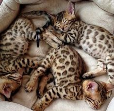 Adorable Kitten Pictures to Make You Feel Better - World's largest collection of cat memes and other animals Cute Cats And Kittens, Kittens Cutest, Beautiful Cats, Animals Beautiful, Bengal Cat Breeders, Bengal Kittens, Siamese Cats, Kitty Cats, Cute Baby Animals