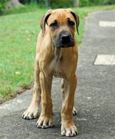 Great Dane Puppy Big Dogs, I Love Dogs, Cute Dogs, Animals Beautiful, Cute Animals, Dane Puppies, Doggies, Great Dane Puppy, Blue Merle