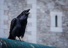 A good telling-off  (there is a legend that if Ravens leave the Tower of London - the country will fall)