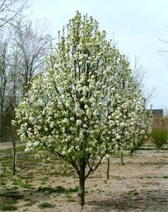 White blossoms appear before leaves emerge. Golden fall color has possible red infusion. Problem-free yard accent, lawn or street tree. Ideal for urban applications. Flowering Pear Tree, Street Trees, Outdoor Trees, Garden On A Hill, Pyrus, Black Garden, Palmiers, Trees And Shrubs, Garden Landscaping