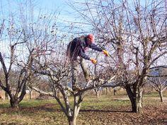 4 основные ошибки при обрезке деревьев. Как избежать неудач? Soda, Couple Photos, Plants, Gardening, Couple Shots, Beverage, Soft Drink, Lawn And Garden, Sodas