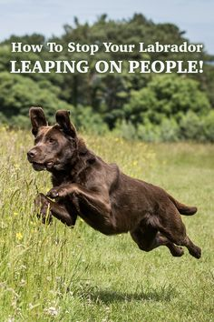 Does your Labrador like jumping up at people? This article will help you stop your dog jumping up at you and others both at home and outside.