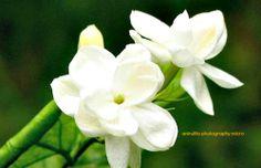 melati flower, famous flower in Indonesia