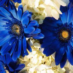 Blue gerber daisies cobalt wedding