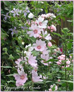 Lavatera olbia Barnsley Just bought one of these - hopefully it will get planted soon.
