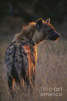 Spotted Hyena by Art Wolfe Pretty Animals, Cute Animals, Animal Sketches, Animal Drawings, Hyena Tattoo, Brown Hyena, Striped Hyena, African Wild Dog, Carnivore