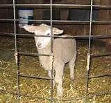 Lamb Creep Feeder Plans for Pinterest