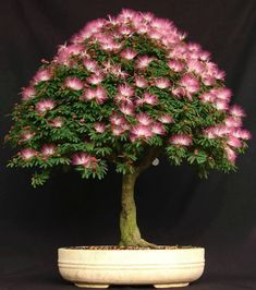 Cheap flower seeds, Buy Quality seeds for flowers directly from China silk tree Suppliers: 20 pcs bonsai Albizia Flower seeds called Mimosa Silk Tree ,seeds for flower potted plants very rare seeds for garden DIY Albizia Julibrissin, Ikebana, Plantas Bonsai, Bonsai Seeds, Tree Seeds, Indoor Bonsai, Bonsai Plants, Potted Plants, Cactus Plants