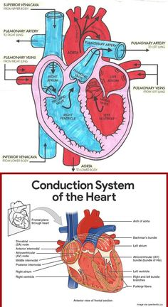 Diagram of Heart Blood Flow for Cardiac Nursing Students - NCLEX Quiz How the Heart Works: Diagram of Heart Blood Flow Cardiovascular System Anatomy and Physiology Pathway of Blood in the Heart Circulation of blood through the heart Cardiac Anatomy, Medical Anatomy, Heart Blood Flow, Heart Flow, Basic Anatomy And Physiology, Heart Diagram, Cardiac Nursing, Ob Nursing, Pharmacology Nursing