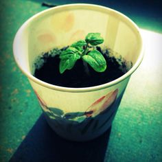 Future tomatoes growing in my office !