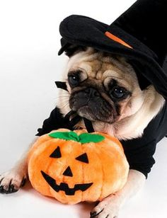 Time to get rid of the usual stink bombs from your pug. Check out some of the most common pug body odor and how to treat them. Pugs In Costume, Pet Costumes, Halloween Costumes, Ghost Costumes, Devil Costume, Couple Costumes, Costume Ideas, Animal Dress Up, Funny Animals
