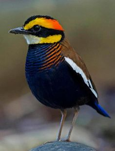 The banded pittas (Hydrornis spp.), are a group of birds in the Pittidae family that were formerly lumped as a single species, the banded pitta. They are found in forest in the Thai-Malay Peninsula and the Greater Sundas. Kinds Of Birds, All Birds, Little Birds, Love Birds, Pretty Birds, Beautiful Birds, Animals Beautiful, Cute Animals, Exotic Birds