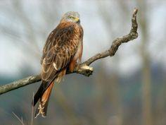 Milan royal Milan Royal, Red Kite, Royal Red, Birds Of Prey, Bald Eagle, Nature Photography, Images, Animals, Beautiful