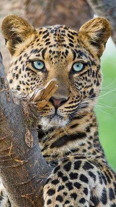 Animals And Pets, Baby Animals, Funny Animals, Cute Animals, Beautiful Cats, Animals Beautiful, Majestic Animals, Tier Fotos, Big Cats