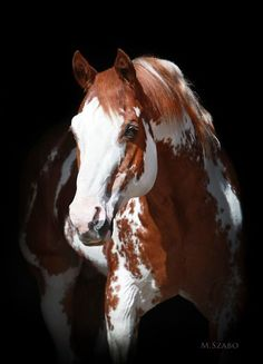 Sierra Supreme - 28 year old APHA Stallion