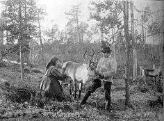 reindeer milking 1900