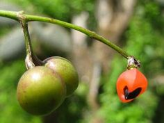 fruto y semilla de Bursera Graveolens, Palo Santo