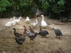 gansos franceses bravos galinhas e fracas