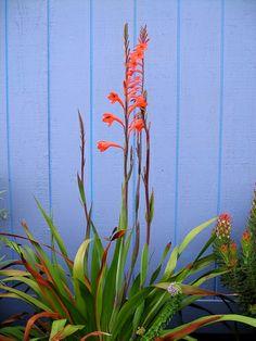 Watsonia tabularis form | Flickr - Photo Sharing!