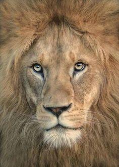 Animals lion big-cat majestic staring