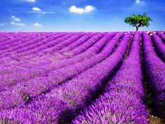 With its charming hilltop towns, picturesque views and outstanding local food, the Luberon in Provence, France, is already a popular travel destination. Tourists who visit the region between June and August are also treated to the sight (and smell) of field after field blooming with lavender.