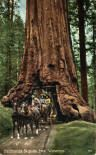 Wawona Tree in the Mariposa Grove. Yosemite National Park, CA  Tunnel was completed in 1881 and tree fell down in 1969.