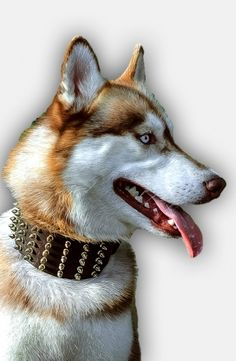 Searching for a high quality Siberian Husky collar of unbeleivable style? Then check this Leather Dog Collar with Hand-Set Brass Spikes