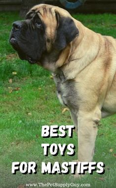 Dogs are simple animals. They're fairly easy to please and amuse. And depending on the type, some doesn't even require much grooming. Bull Mastiff Puppies, English Mastiff Puppies, Mastiff Breeds, English Mastiffs, Large Dog Breeds, Giant Dog Breeds, Best Dog Toys, Tibetan Mastiff, Toy Puppies