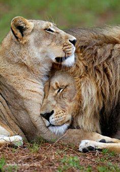 Tendresse lion et lionne