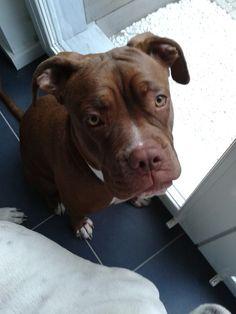 Rosie  Boxer-Labrador-OldEnglishBulldog | Pawshake