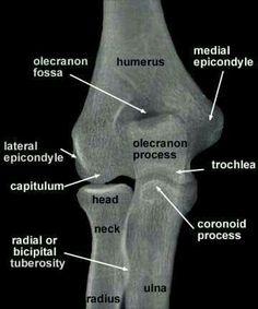 Humerus Anatomy