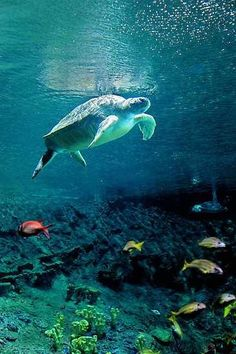 Sea turtle with friends.