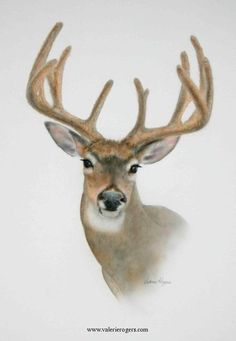 """White Tail Velvet"" Original Deer Painting -Nature and wildlife Original watercolor and acrylic paintings of nature and wildlfe - Available Originals by Valerie Rogers"