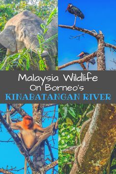 A stay on the banks of Borneo's Kinabatangan River is a fantastic experience to see the variety of Malaysia wildlife. Check out the animals we spotted! | Asian Wildlife | Borneo's Highlights | Top attractions In Borneo | Borneo on a Budget | What to do in Borneo | Asian safari | River Safari | Pygmy Elephants |