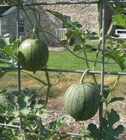 If you think you don't have room in your vegetable garden for watermelons, try growing watermelons on vertical supports it works great in small spaces.