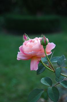 Add roses to your garden!