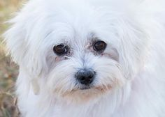 Petango.com – Meet Romeo, a 6 years 9 months Havanese available for adoption in COLORADO SPRINGS, CO. Call (719) 495-7679 to speak to an adoption representative at National Mill Dog Rescue.