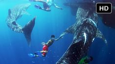 Swim with whale sharks in our new film, Journey to the South Pacific - check it out in this behind the scenes video!