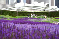 The Salvia River at the Lurie Garden in Chicago - Piet Oudolf garden designer