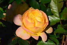 Aamuinen ruusu  Lampion