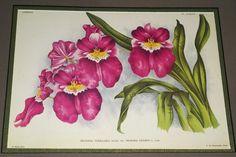 Lindenia Orchid Print Limited Edition Miltonia Vexillaria Benth Var Memoria B5