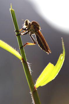 Rubberfly