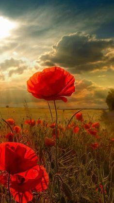 Sunlight, poppies.