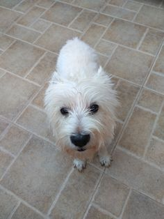 Orfeas Westie Highlands Terrier, West Highland Terrier, Westies, Dogs, Gifts, Animals, Presents, Animales, Animaux