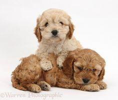 Golden Cockapoo pups
